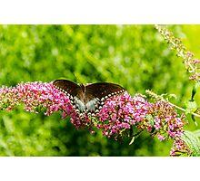 Spicebush Swallowtail Photographic Print