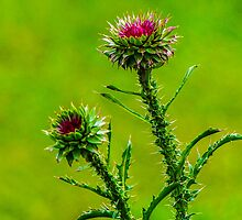 Budding Thistle by Mary Carol Story