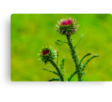 Budding Thistle Canvas Print