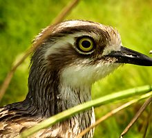 Bush Stone-curlew  by D-GaP