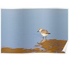Sanderling (Calidris alba) Poster