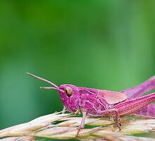 Pink Grasshopper by chris2766