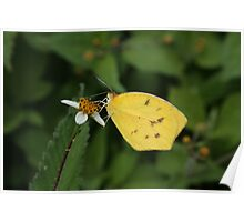 Yellow Butterfly on a White Flower Poster