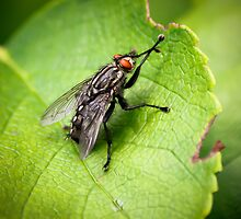 Flesh Fly on a Leaf by Ben Frewin