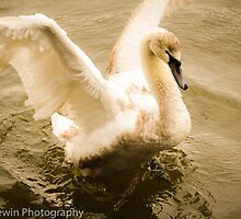 Swan Spreading its wings.  by Ben Frewin