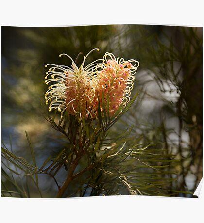 Grevillea Flower Poster