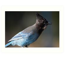 Steller's Jay ~ Provincial Bird of British Columbia, Canada Art Print