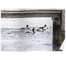 Ducks Under The Dock  Poster