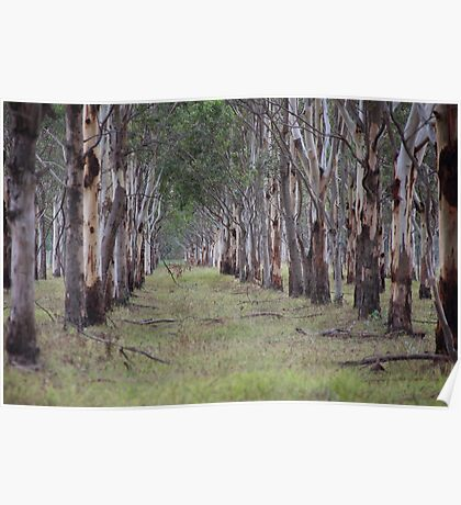 Eucalyptus Avenue. Poster