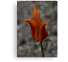 A Flamboyant Flame Tulip in a Pebble Garden Canvas Print