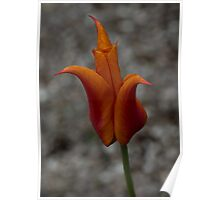 A Flamboyant Flame Tulip in a Pebble Garden Poster