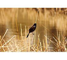 Common Grackle on Marsh Grass Photographic Print
