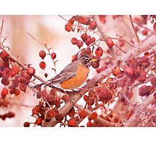 Robin Amoung Red Berries In Winter Photographic Print