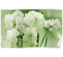 White narcissus in a green spring Poster