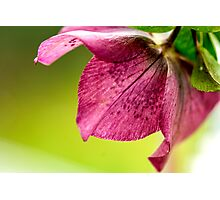 Hellebore (Winter Rose) 1223 Photographic Print