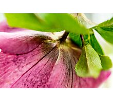 Hellebore (Winter Rose) 1222 Photographic Print