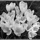 Crocus by thepicturedrome