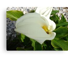 A Large Single White Calla Lily Flower Canvas Print