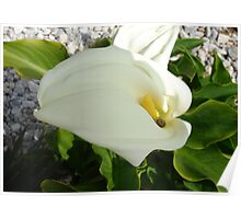 A Large Single White Calla Lily Flower Poster