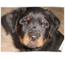 Adorable Rottweiler Puppy Making Eye Contact Poster