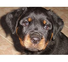 Adorable Rottweiler Puppy Making Eye Contact Photographic Print