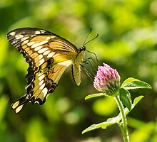 Giant Swallowtail On Clover 2 by Thomas Young