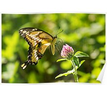 Giant Swallowtail On Clover 2 Poster