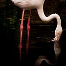 A flamingo drinking close up by Elana Bailey