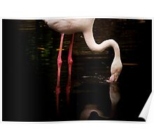 A flamingo drinking close up Poster