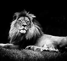A majestic lion in monochrome by Elana Bailey