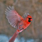 """""""Flying Cardinal"""" by lillis"""