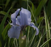 Dashing Pale Violet Iris by Georgia Mizuleva