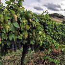 Mudgee Vineyard by yolanda