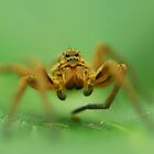 wolf spider by davvi