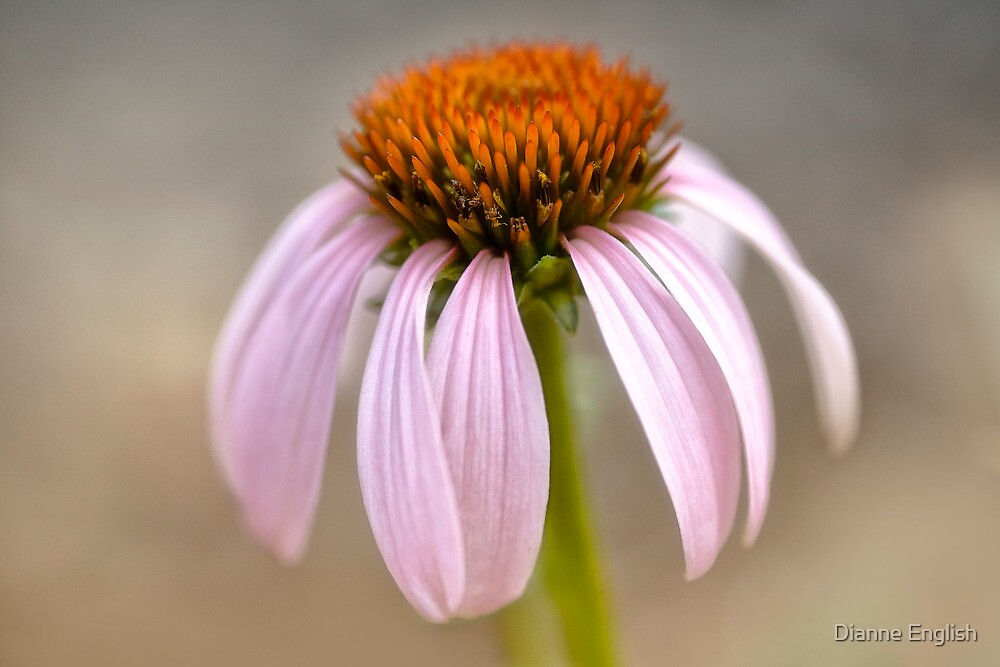 Echinacea Study by Dianne English