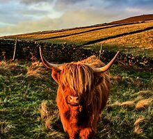 Highland Cow in the Peak District by pixog