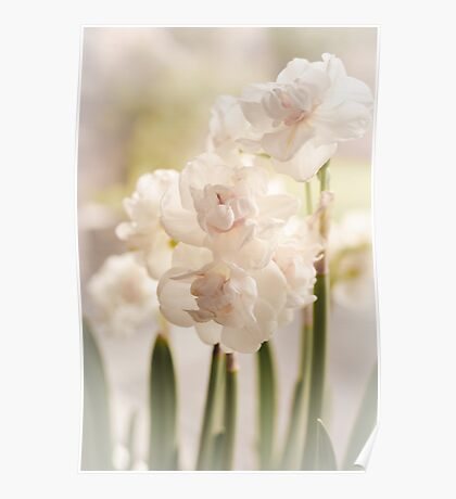 White narcissus and early spring Poster
