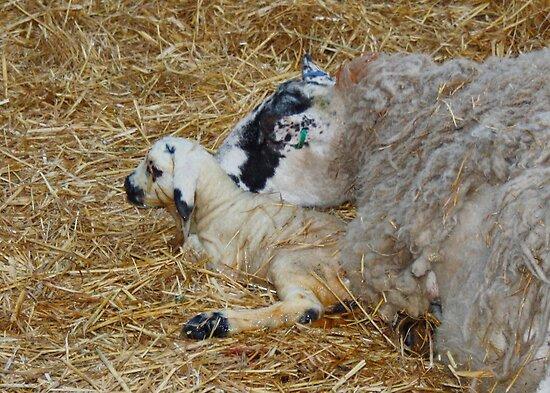 New Born Lamb with Mom by AnnDixon