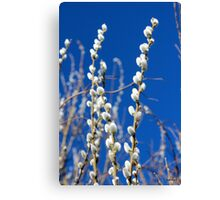 Willow - Catkins Canvas Print