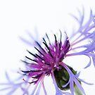Perennial Cornflower by Anne Gilbert