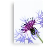Perennial Cornflower Canvas Print