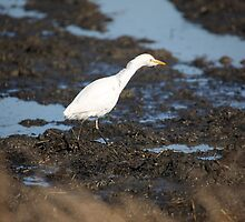 Cattle Egret searching for a snack by Christa Knijff