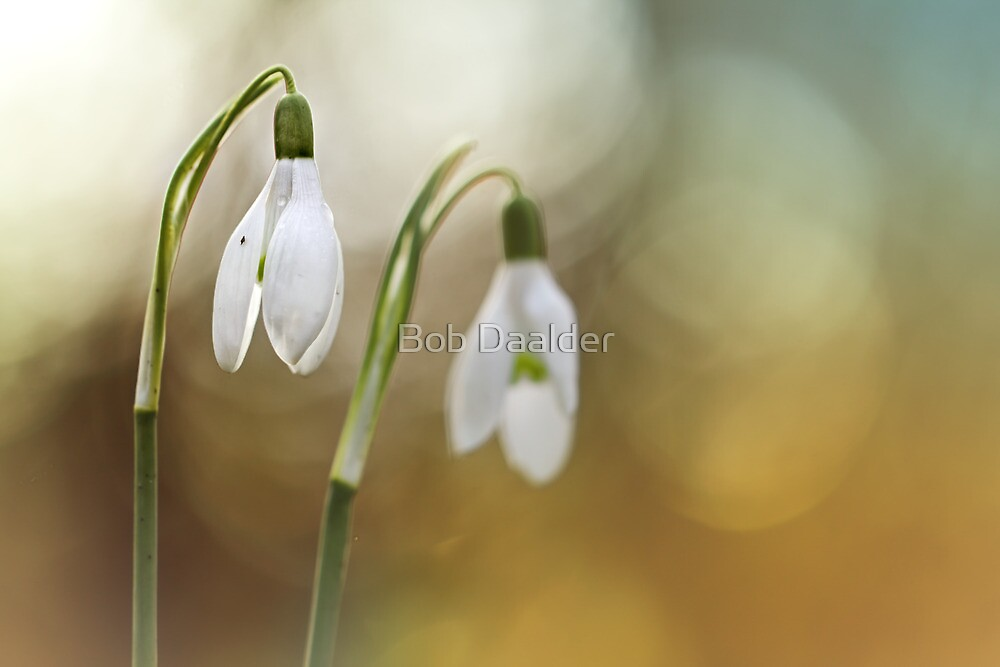 Snowdrops warming up a bit... by Bob Daalder