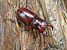 Reddish-brown Stag Beetle - Lucanus capreolus by MotherNature