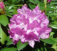 Jocelyn's rhododendrons by nealbarnett