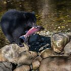 Young Black Bear with Salmon by David Friederich