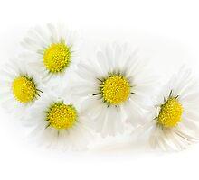 Blooming Daisies by Mariola Szeliga