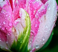 Pink Parrot Tulip by GoddessChrissy