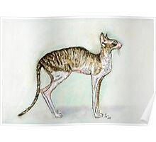 A Little Cornish Rex Cat Poster