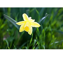New Daffodil Photographic Print